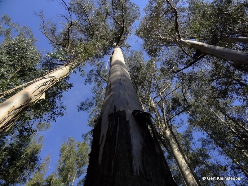 Rieseneukalyptus unter blauem Himmel