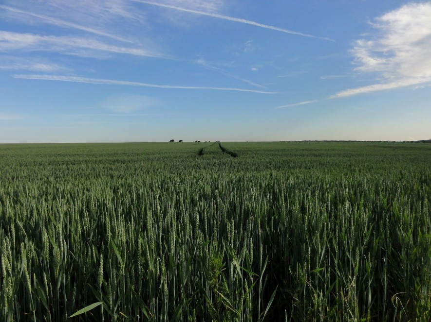 Getreidefelder wie in der Meseta